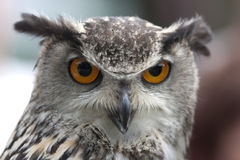 Portrait of an Eurasian Eagle Owl with orange eyes Stock Image