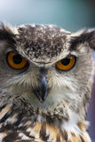Portrait of an Eurasian Eagle Owl with orange eyes Royalty Free Stock Photo
