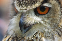 Portrait of an Eurasian Eagle Owl with orange eyes Stock Photo