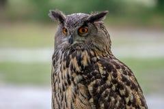 Portrait of an Eurasian Eagle Owl royalty free stock photos