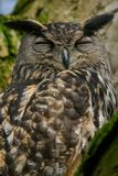 Eurasian eagle-owl snoozing up in a tree. A portrait eurasian eagle-owl snoozing in a tree. Also known as European eagle-owl or eagle-owl. Bubo bubo Royalty Free Stock Photography