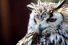Portrait of The Eurasian Eagle Owl (Bubo bubo) Stock Images