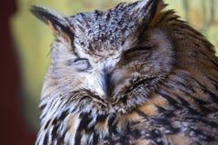 Portrait of The Eurasian Eagle Owl (Bubo bubo) Royalty Free Stock Photos