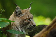 Portrait of an Eurasian Lynx. The Eurasian lynx is a medium-sized cat who lives in the European and Siberian forests. Sadly it `s nearly impossible to find this Stock Images