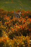 Portrait of Eurasian Lynx in autum orange blueberry with evenig sun Royalty Free Stock Image