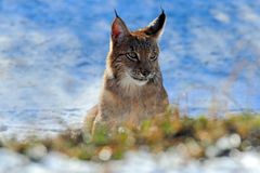 Portrait of Eurasian Lynx on snow in winter Stock Photos