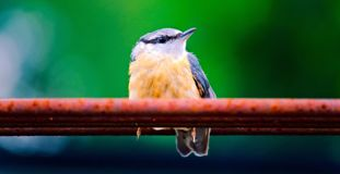 A portrait of a nuthatch stock image