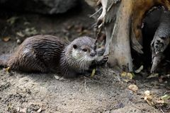 Portrait of eurasian otter Lutra lutra. Photography of nature and wildlife royalty free stock photos
