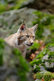 Portrait of eurasian wild cat Lynx, name is Blondyn, in green moss stone, Czech Stock Photo