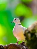 Portrait eurasien de colombe de collard Images stock