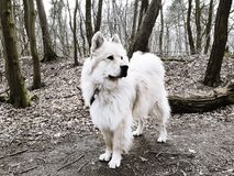 Portrait of a Eurasier dog Royalty Free Stock Photo