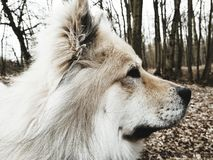 Portrait of a Eurasier dog Royalty Free Stock Images