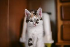 Portrait européen de chat Verticale de beau chat Chat mignon de trois couleurs Chat aux cheveux courts européen Portrait de chato Photographie stock libre de droits