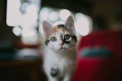 Portrait européen de chat Verticale de beau chat Chat mignon de trois couleurs Chat aux cheveux courts européen Portrait de chato Images libres de droits