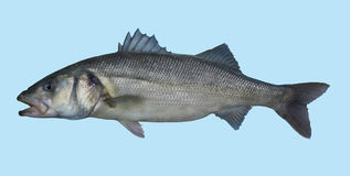 Portrait européen de pêche de bar Image libre de droits