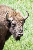 Portrait of European bison male Stock Images