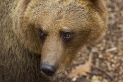 Portrait of European brown bear. In zoo Stock Photos