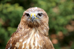 Portrait of a european common buzzard buteo buteo Royalty Free Stock Photos