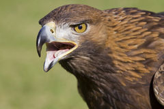Portrait of an european eagle. With open beak royalty free stock images