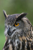 Portrait of a European Eagle Owl Stock Images