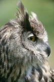 Portrait of a European Eagle Owl. Close up of a beautiful european eagle owl while calling stock image