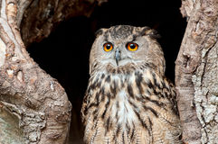Portrait of European eagle owl Stock Image