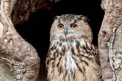 Portrait of European eagle owl. With beautiful eyes stock image