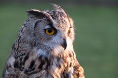 Portrait of European eagle-owl with orange eyes, also known as the Eurasian eagle owl. Portrait of beautiful European eagle-owl, also known as the Eurasian stock photo