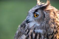 Portrait of European eagle-owl with orange eyes, also known as the Eurasian eagle owl. Portrait of beautiful European eagle-owl, also known as the Eurasian royalty free stock photography