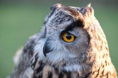 Portrait of European eagle-owl with orange eyes, also known as the Eurasian eagle owl. Portrait of beautiful European eagle-owl, also known as the Eurasian royalty free stock photos