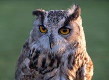 Portrait of European eagle-owl with orange eyes, also known as the Eurasian eagle owl. royalty free stock image