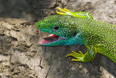 Portrait of European green lizard Stock Images