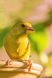 Portrait of European Greenfinch bird. Vertical photo of small songbird. European greenfinch sits on the edge of feeder. Animal has nice eyes, beak which is dirty Stock Photography