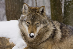 Portrait of an European grey wolf. An European grey wolf (Canis lupus lupus) wears snow in its nose royalty free stock photo