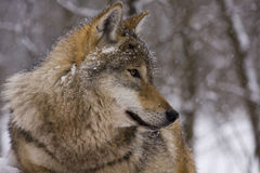 Portrait of an European grey wolf Royalty Free Stock Photos