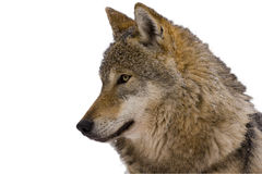 Portrait of an European grey wolf (Canis lupus lu royalty free stock photo