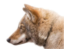 Portrait of an European grey wolf isolated. Portrait of an European grey wolf (Canis lupus lupus) isolated royalty free stock photo