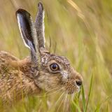 Portrait of European Hare in grass. Portrait of European Hare (Lepus europeaus) hiding in grass and relying on camouflage royalty free stock photography