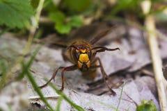 Portrait of European hornet Vespa crabro. Portrait of large European hornet Vespa crabro Stock Photo