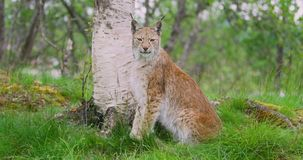 Portrait of european lynx sitting in the forest stock video footage