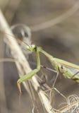 Portrait of a  European Mantis  on the grass. Stock Photos