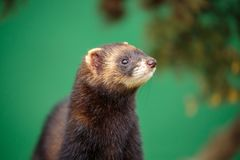 A portrait of an European polecat royalty free stock photography
