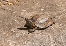 Portrait of European pond turtle - Emys orbicularis orbicularis Stock Photo