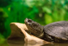 monitor lizard resting on a log royalty free stock image