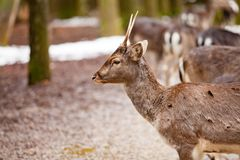 Portrait of European roe deer in the forest. Portrait of European roe deer Capreolus capreolus in the forest stock images