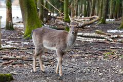 Portrait of European roe deer in the forest. Portrait of European roe deer Capreolus capreolus in the forest royalty free stock image