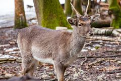 Portrait of European roe deer in the forest. Portrait of European roe deer Capreolus capreolus in the forest stock photography