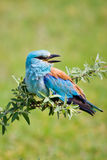 Portrait of an European Roller Royalty Free Stock Photos