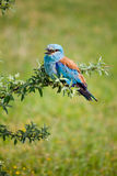 Portrait of an European Roller Royalty Free Stock Images