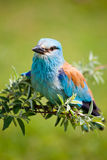 Portrait of an European Roller Stock Image